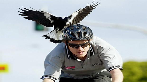 Lại là nước Úc kinh dị: Tài xế ở đây đang có nguy cơ phải bỏ mạng vì biệt đội Angry bird từ trên trời rơi xuống - Ảnh 3.