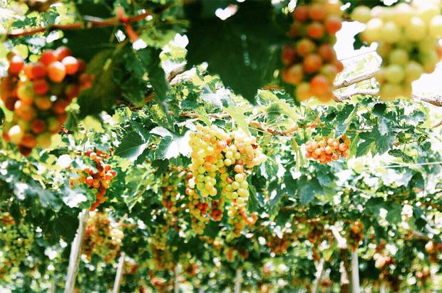 """Tháng 9 đổi gió """"săn nho"""" tại 2 khu vườn nổi tiếng nhất Ninh Thuận để lúc đi có hình sống ảo, lúc về có nho ăn! - Ảnh 1."""