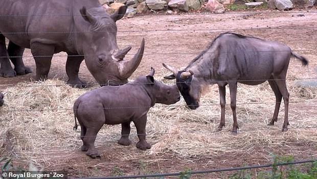 Cậy có mẹ bảo kê, tê giác con đi cà khịa đánh nhau với tất cả anh em động vật trong sở thú - Ảnh 3.