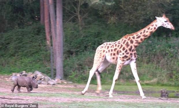 Cậy có mẹ bảo kê, tê giác con đi cà khịa đánh nhau với tất cả anh em động vật trong sở thú - Ảnh 2.