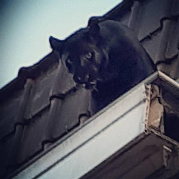 Báo đen siêu hiếm bỗng dưng leo trèo thám hiểm khắp các mái nhà ở Pháp: Huyền thoại trăm năm có một của châu Phi sao lại ra nông nỗi này? - Ảnh 2.