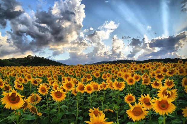 Mê mẩn vẻ đẹp của những cánh đồng hoa trên khắp thế giới - Ảnh 2.