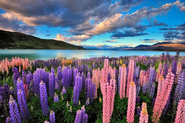 Mê mẩn vẻ đẹp của những cánh đồng hoa trên khắp thế giới - Ảnh 5.