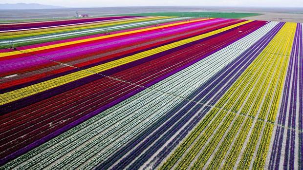 Mê mẩn vẻ đẹp của những cánh đồng hoa trên khắp thế giới - Ảnh 9.