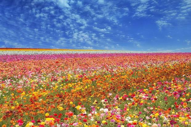 Mê mẩn vẻ đẹp của những cánh đồng hoa trên khắp thế giới - Ảnh 10.