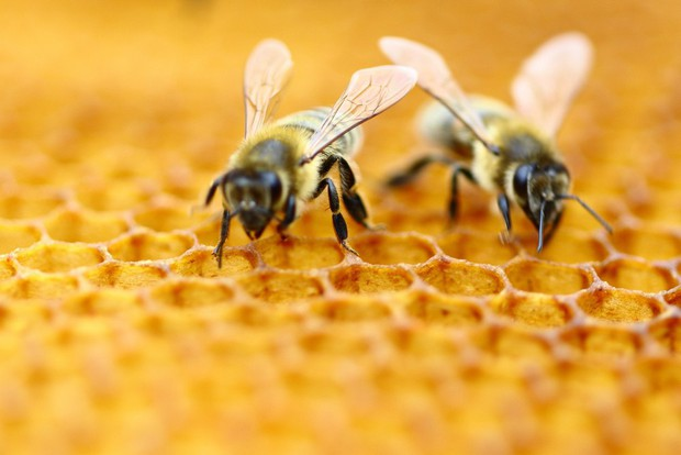 Nếu loài ong tuyệt chủng, rất có thể nhân loại chỉ tồn tại được thêm 4 năm - Ảnh 1.
