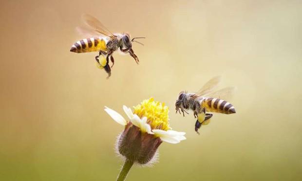 Nếu loài ong tuyệt chủng, rất có thể nhân loại chỉ tồn tại được thêm 4 năm - Ảnh 4.