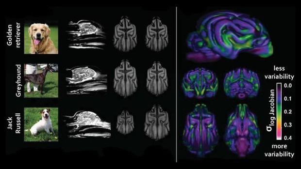 Sống với con người suốt 15.000 năm, não bộ loài chó đã bị chúng ta biến đổi - Ảnh 2.