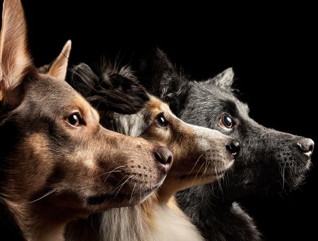 Sống với con người suốt 15.000 năm, não bộ loài chó đã bị chúng ta biến đổi - Ảnh 3.