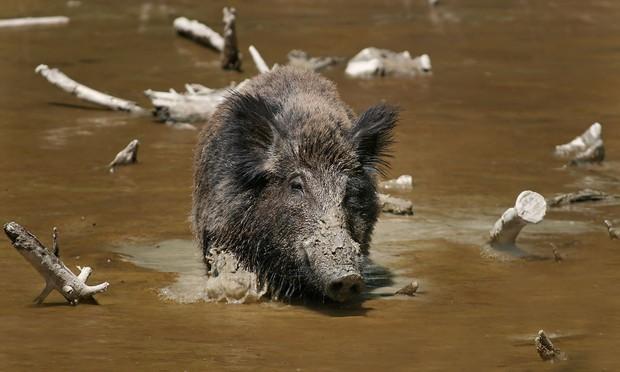 Hòn đảo đột nhiên bị cả một đội quân lợn rừng xâm chiếm, nhưng nguồn gốc của số lợn mới là thứ khiến nhiều người kinh ngạc - Ảnh 1.