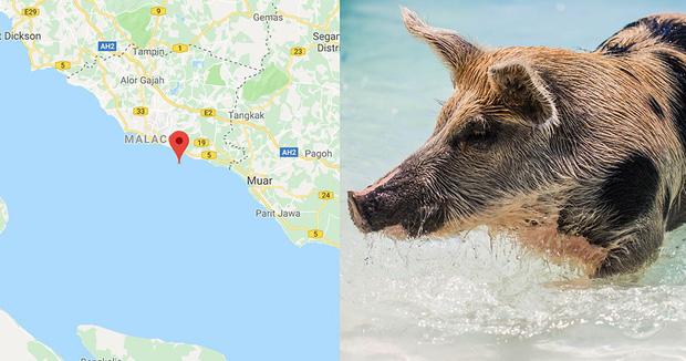 Hòn đảo đột nhiên bị cả một đội quân lợn rừng xâm chiếm, nhưng nguồn gốc của số lợn mới là thứ khiến nhiều người kinh ngạc - Ảnh 2.