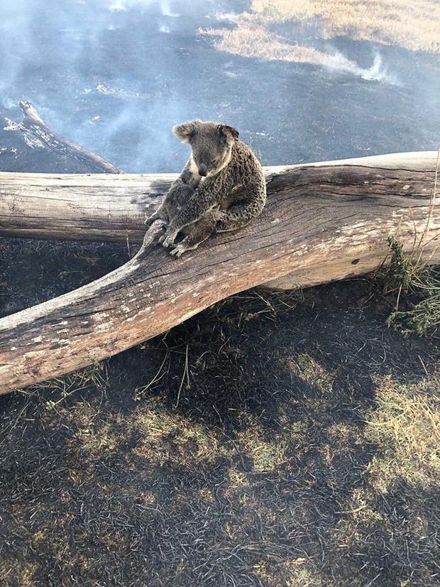 Khoảnh khắc xúc động khi gấu koala mẹ không màng đau đớn, cố bảo vệ đứa con nhỏ khỏi đám cháy xung quanh - Ảnh 1.