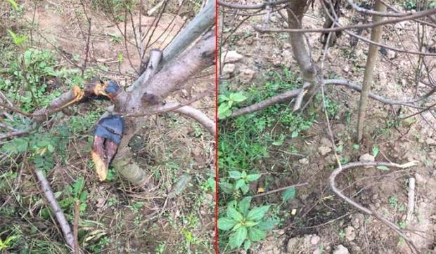 Clip: Hàng chục gốc đào ở Hà Nội bị kẻ gian chặt phá trong đêm - Ảnh 1.