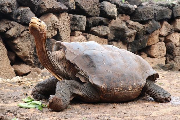 Cụ rùa trăm tuổi nghỉ hưu sau 43 năm miệt mài phối giống cứu cả loài khỏi tuyệt chủng, làm cha của hơn 800 đứa con - Ảnh 1.