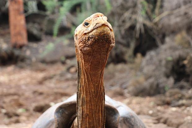 Cụ rùa trăm tuổi nghỉ hưu sau 43 năm miệt mài phối giống cứu cả loài khỏi tuyệt chủng, làm cha của hơn 800 đứa con - Ảnh 2.