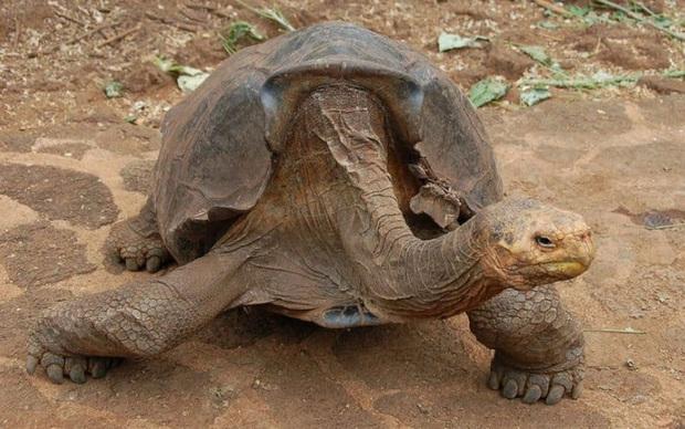 Cụ rùa trăm tuổi nghỉ hưu sau 43 năm miệt mài phối giống cứu cả loài khỏi tuyệt chủng, làm cha của hơn 800 đứa con - Ảnh 4.