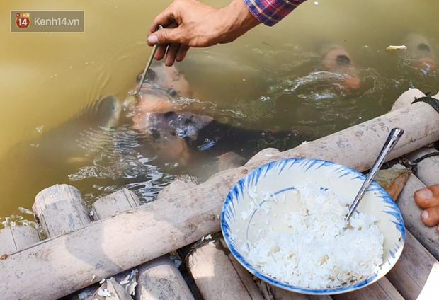 Kỳ lạ đàn cá tai tượng biết... nhõng nhẽo, ăn cơm trắng phải đút bằng muỗng của chàng trai 9X ở miền Tây - Ảnh 1.