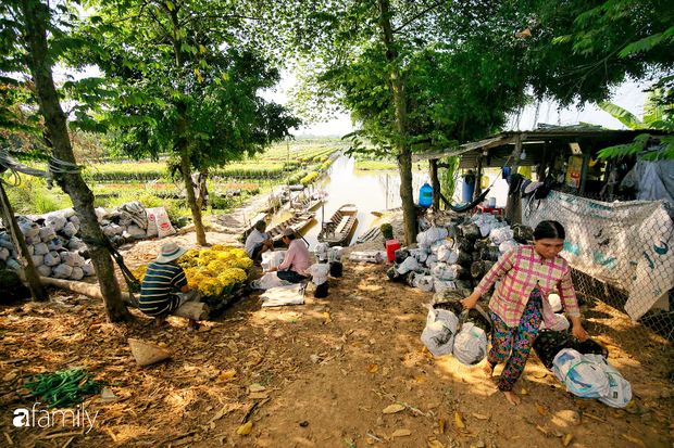 Ngất lịm giữa hàng chục cánh đồng cúc mâm xôi rộng bạt ngàn ở một trong những ngôi làng ăn Tết sớm nhất cả nước - Ảnh 7.