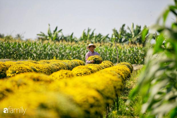 Ngất lịm giữa hàng chục cánh đồng cúc mâm xôi rộng bạt ngàn ở một trong những ngôi làng ăn Tết sớm nhất cả nước - Ảnh 5.