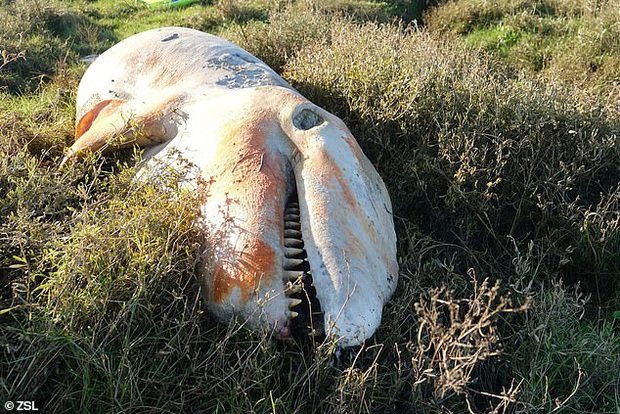 Cá voi sát thủ dạt vào đầm lầy tại Anh lần đầu tiên sau 19 năm: Cả một bụng rỗng tuếch thức ăn nhưng chất đầy rác nhựa - Ảnh 1.