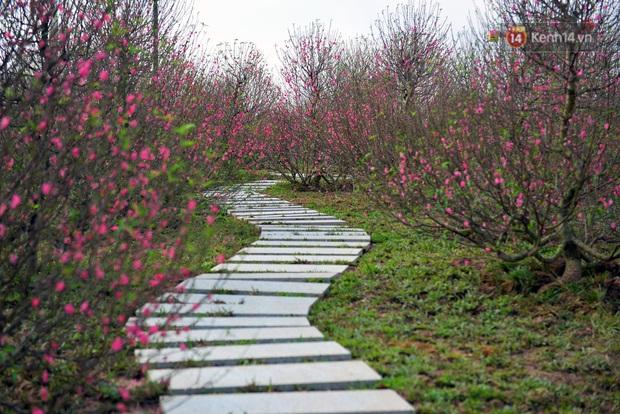 Vườn đào xuân 1000 gốc khoe sắc trong khuôn viên đại học VinUni vừa khánh thành - Ảnh 3.
