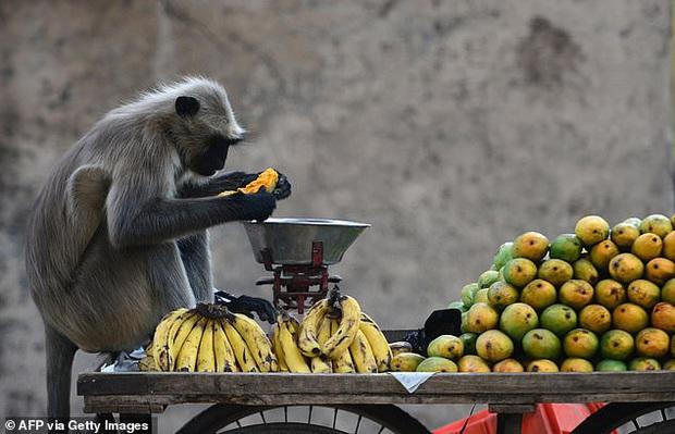 Bị hàng trăm con khỉ hung hăng xâm chiếm, người dân buộc phải di cư sang vùng đất khác, nhường lại đất đai cây trái cho chúng - Ảnh 1.