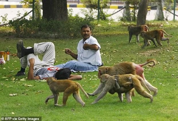 Bị hàng trăm con khỉ hung hăng xâm chiếm, người dân buộc phải di cư sang vùng đất khác, nhường lại đất đai cây trái cho chúng - Ảnh 2.