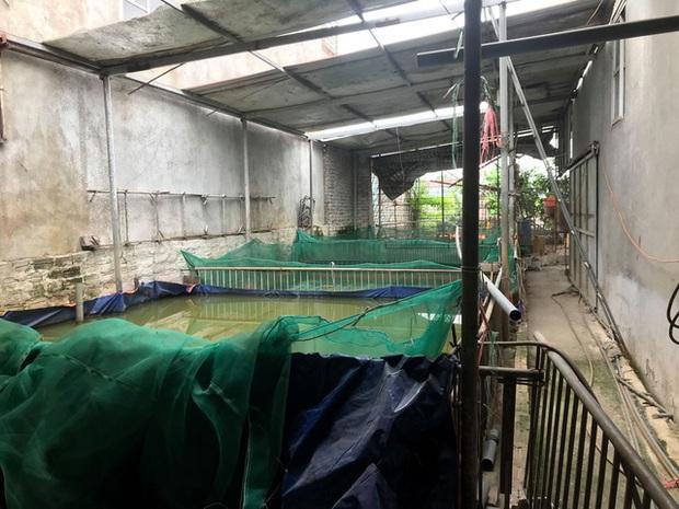 Hà Nội: Phải tiêu hủy 214 con lợn mà chưa được nhận tiền hỗ trợ, người dân có nguy cơ mất Tết - Ảnh 1.