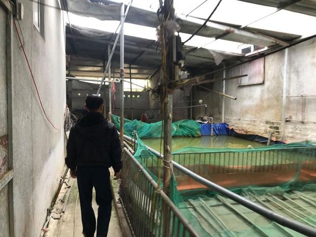 Hà Nội: Phải tiêu hủy 214 con lợn mà chưa được nhận tiền hỗ trợ, người dân có nguy cơ mất Tết - Ảnh 3.