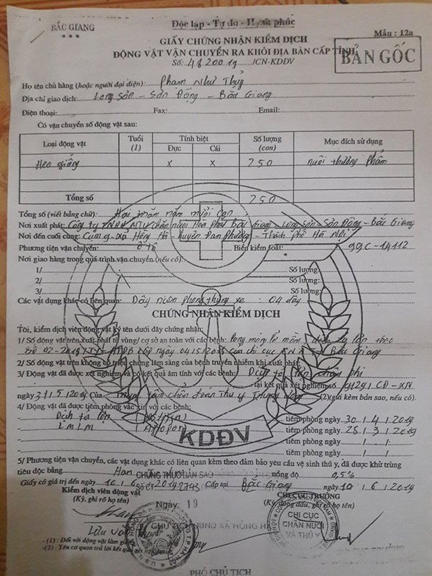 Hà Nội: Phải tiêu hủy 214 con lợn mà chưa được nhận tiền hỗ trợ, người dân có nguy cơ mất Tết - Ảnh 7.