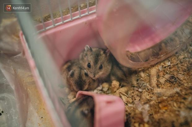 Năm Canh Tý, người trẻ tìm mua chuột hamster để giảm stress và cầu chúc may mắn - Ảnh 8.