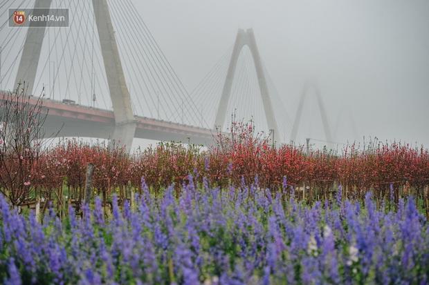 Người dân dưới chân cầu Nhật Tân xót xa khi đào nở rộ quá sớm - Ảnh 4.