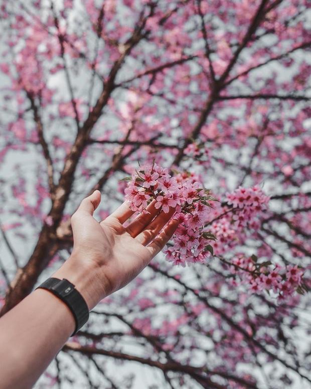 Nếu ngán ngẩm với cảnh tượng chen chúc check-in cùng mai anh đào ở Đà Lạt, bạn có thể chơi lớn sang Thái Lan ngắm rừng hoa đẹp như ngôn tình này - Ảnh 2.