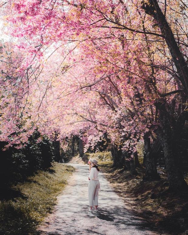 Nếu ngán ngẩm với cảnh tượng chen chúc check-in cùng mai anh đào ở Đà Lạt, bạn có thể chơi lớn sang Thái Lan ngắm rừng hoa đẹp như ngôn tình này - Ảnh 1.