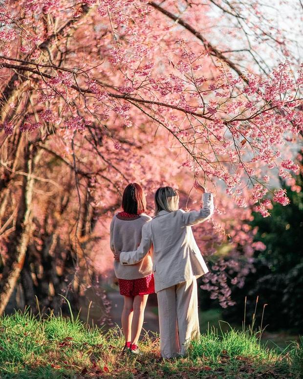 Nếu ngán ngẩm với cảnh tượng chen chúc check-in cùng mai anh đào ở Đà Lạt, bạn có thể chơi lớn sang Thái Lan ngắm rừng hoa đẹp như ngôn tình này - Ảnh 4.