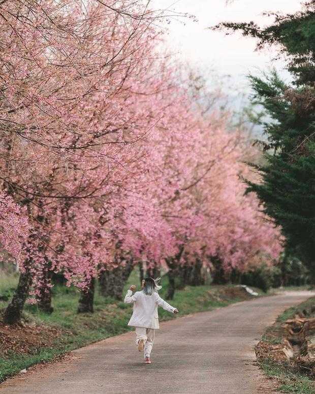Nếu ngán ngẩm với cảnh tượng chen chúc check-in cùng mai anh đào ở Đà Lạt, bạn có thể chơi lớn sang Thái Lan ngắm rừng hoa đẹp như ngôn tình này - Ảnh 6.