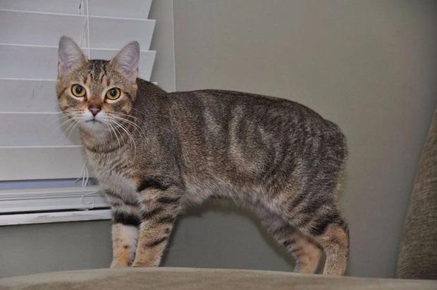 Dù không có đuôi nhưng loài mèo này lại được biết bao người trên cả thế giới săn đón - Ảnh 1.