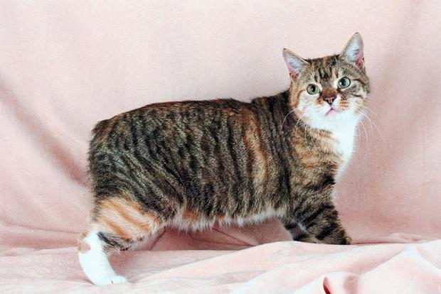 Dù không có đuôi nhưng loài mèo này lại được biết bao người trên cả thế giới săn đón - Ảnh 4.