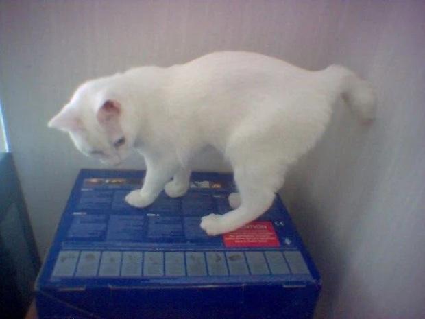 Dù không có đuôi nhưng loài mèo này lại được biết bao người trên cả thế giới săn đón - Ảnh 5.