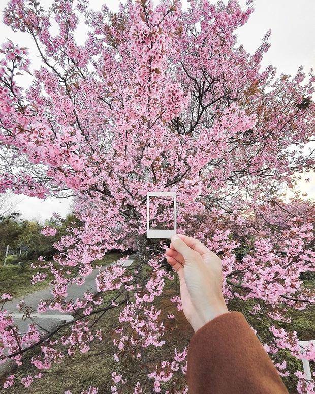 Nếu ngán ngẩm với cảnh tượng chen chúc check-in cùng mai anh đào ở Đà Lạt, bạn có thể chơi lớn sang Thái Lan ngắm rừng hoa đẹp như ngôn tình này - Ảnh 12.