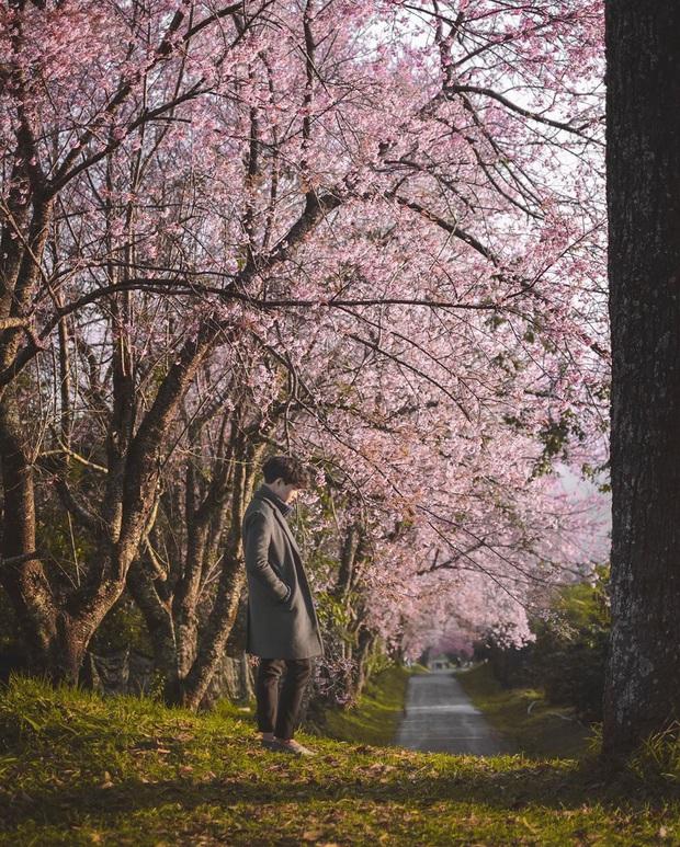 Nếu ngán ngẩm với cảnh tượng chen chúc check-in cùng mai anh đào ở Đà Lạt, bạn có thể chơi lớn sang Thái Lan ngắm rừng hoa đẹp như ngôn tình này - Ảnh 11.
