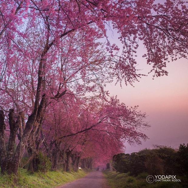 Nếu ngán ngẩm với cảnh tượng chen chúc check-in cùng mai anh đào ở Đà Lạt, bạn có thể chơi lớn sang Thái Lan ngắm rừng hoa đẹp như ngôn tình này - Ảnh 13.