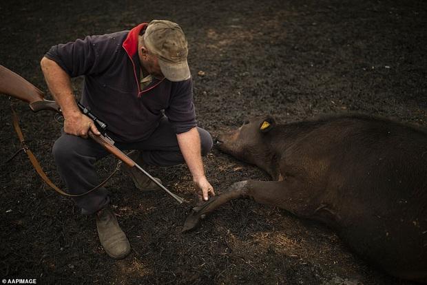 Chứng kiến gia súc đau đớn vì bỏng nặng do hỏa hoạn kinh hoàng tại Úc, nông dân xót xa bắn chết 20 con bò để giải thoát cho chúng - Ảnh 1.