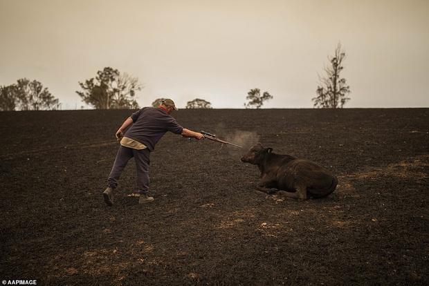 Chứng kiến gia súc đau đớn vì bỏng nặng do hỏa hoạn kinh hoàng tại Úc, nông dân xót xa bắn chết 20 con bò để giải thoát cho chúng - Ảnh 2.