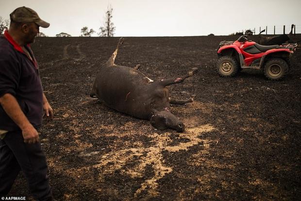 Chứng kiến gia súc đau đớn vì bỏng nặng do hỏa hoạn kinh hoàng tại Úc, nông dân xót xa bắn chết 20 con bò để giải thoát cho chúng - Ảnh 3.