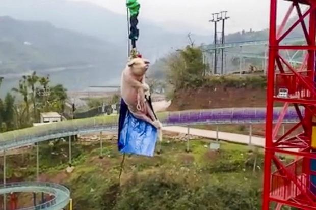 Đem trói lợn sống vào dây nhảy bungee để mua vui, công viên giải trí nhận cả tấn gạch đá từ cộng đồng mạng - Ảnh 1.