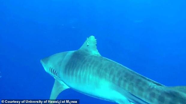 Nỗi đau thầm lặng của đại dương: Khoa học xác định hàng triệu cá mập có lưỡi câu mắc sâu trong da thịt, tác động của loài người đã lớn quá rồi - Ảnh 3.