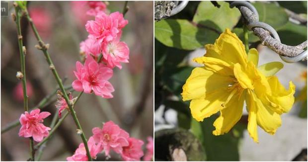 Ăn bao cái Tết nhưng bạn có biết vì sao miền Bắc chưng hoa đào còn miền Nam lại chuộng hoa mai không? - Ảnh 1.
