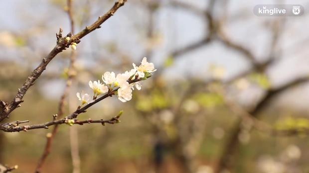 Clip: Vẻ đẹp ngỡ ngàng giữa rừng mận nở bung hoa trắng cả thung lũng ở Mộc Châu ngày giáp Tết - Ảnh 5.