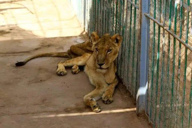 Hình ảnh sư tử đói hốc hác, chỉ còn da bọc xương khiến cộng đồng yêu động vật sục sôi kêu gọi chung tay tìm cách giải cứu - Ảnh 4.
